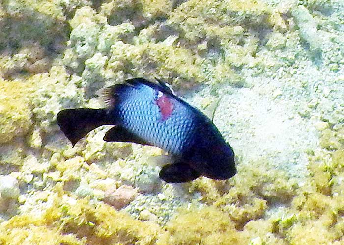 damselfish-fowa